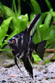 Maanvis marbled zwart wit 15cm