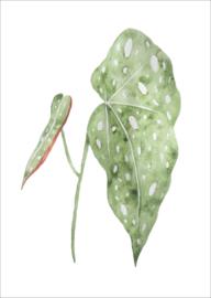 Stippen begonia - kaart