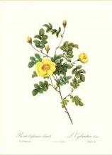 Rosa Eglanteria Luteola