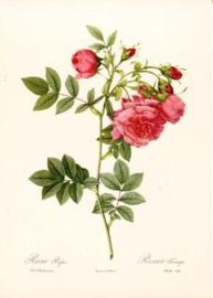 Rosa Rapa