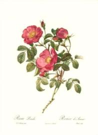 Rosa Pumila