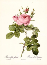 Rosa bifera officinalis