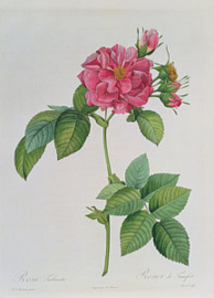 Rosa Turbinata
