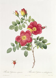 Rosa Eglanteria var. punicea