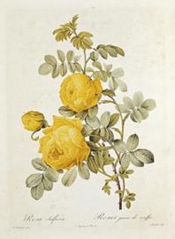 Rosa Sulfurea