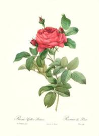 Rosa Pontiana