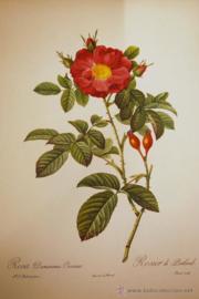Print Damascena Coccinea - Portland Rose