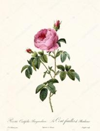 Rosa Centifolia Burgundiaca