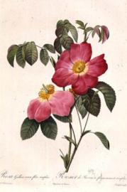 Rosa Gallica rosea flore simplici