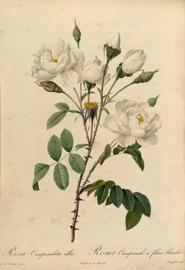 Rosa Campanulata alba