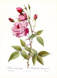 Rosa Indica Vulgaris -  klein vlekje