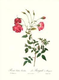 Rosa Indica Sertulata