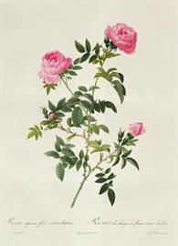 Rosa Sepium Flore