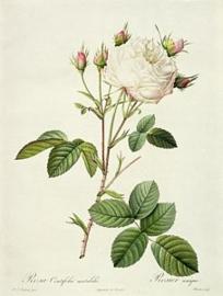 Rosa Centifolia Mutabilis