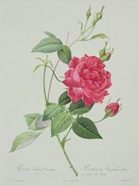 Rosa Indica Cruenta