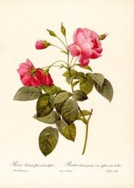 Rosa Redinata flore