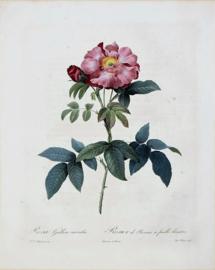 Rosa Gallica Caerulea