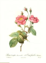 Rosa Centifolia Anemonoides Le Cent-feuilles