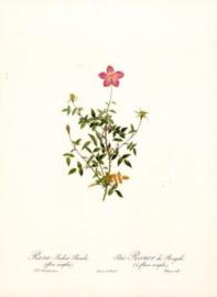 Rosa Indica Pumila