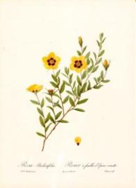 Rosa berberifolia