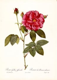 Rosa Gallica Officinalis