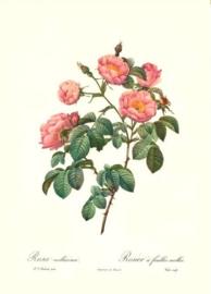 Rosa Mollissima