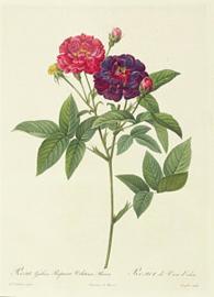 Rosa Gallica Purpurea Velutina Parva