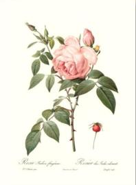 Rosa Indica Fragrans