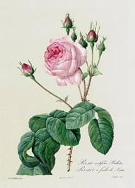 Rosa Centifolia Bullata