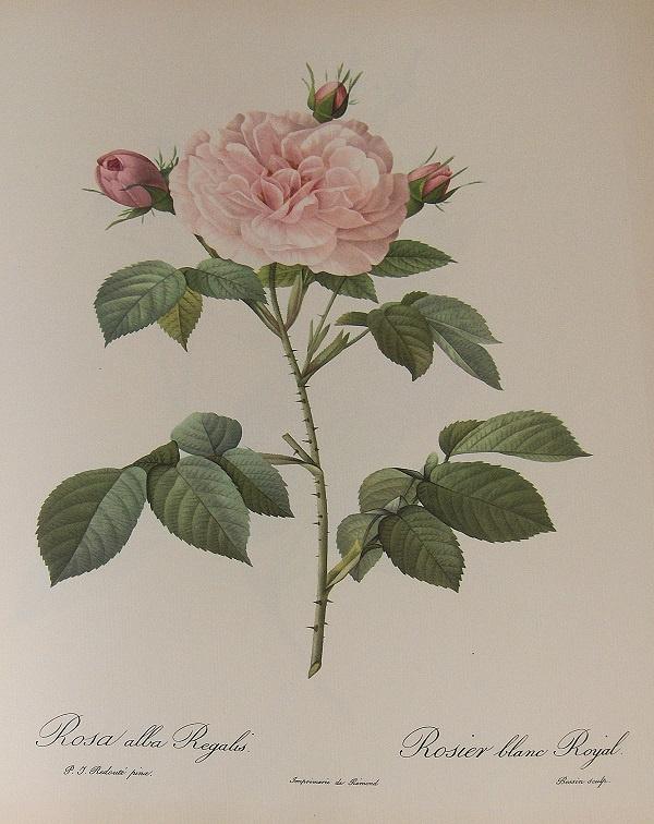 Rosa Alba Regalis