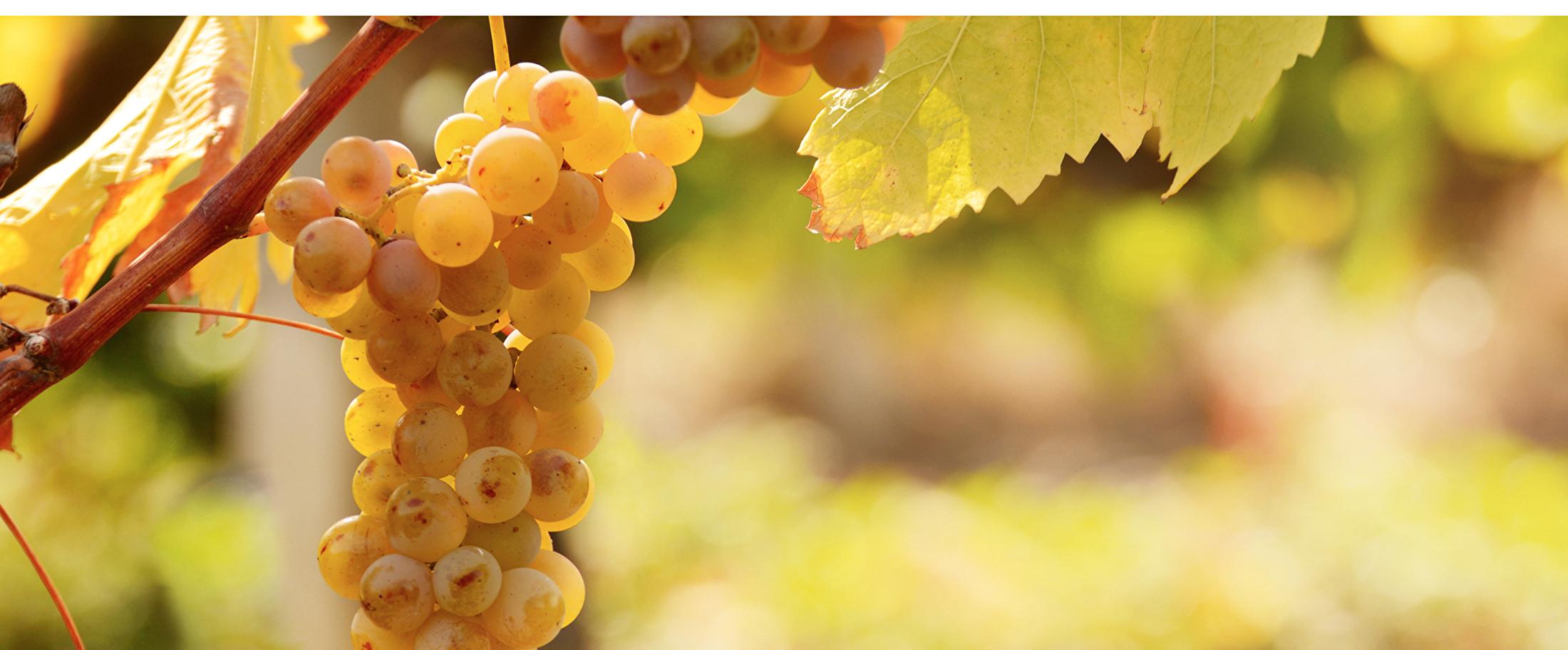 Vino Linea Directa_Druivensoort Pinot Grigio