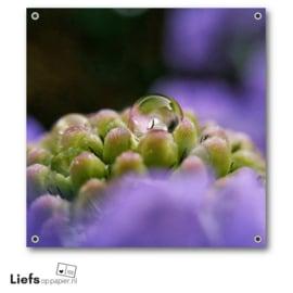 Tuinposter | Waterdruppel (Scabiosa)