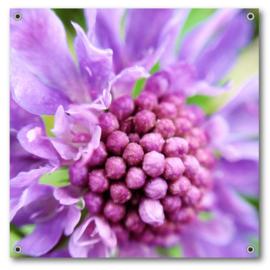 Tuinposter | Scabiosa in bloei