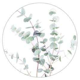 Eucalyptus 30 cm