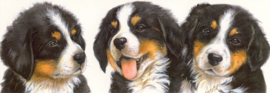 Narrow Postcards  - Bernese Mountain Dog