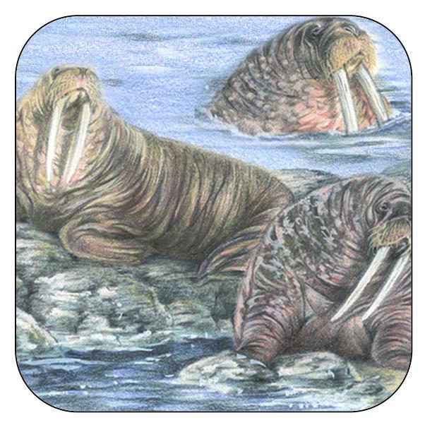 Onderzetter Walrussen - afgeronde hoeken - 9,5 x 9,5 cm, per 3 stuks