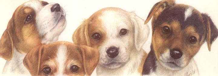 Jack Russel Terrier, pro 5 stück