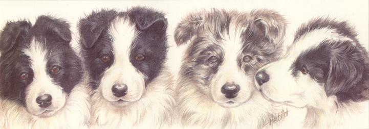Smalle kaart:  Border Collie pups