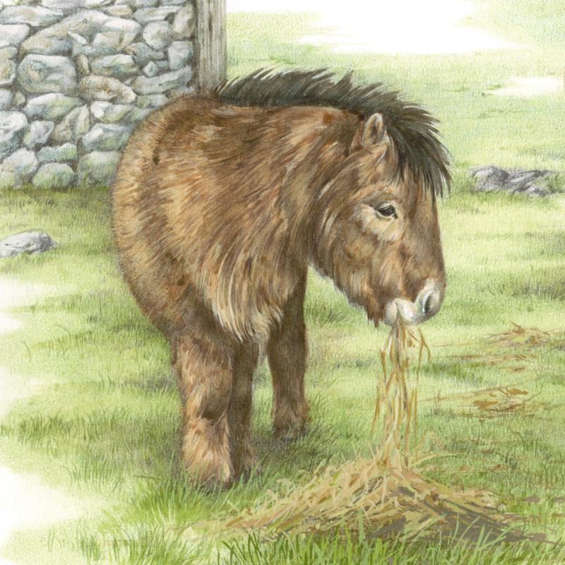 En ook eindelijk een pony. Helemaal alleen aan het eten, de Shetlandpony..