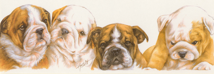 Smalle kaart: Engelse Bulldog pups