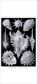 Haeckel Poster: Murex