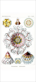 Haeckel Poster: Periphylla