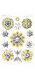 Haeckel Posters: Collosphaera