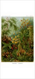 Haeckel Poster: Polytrichum
