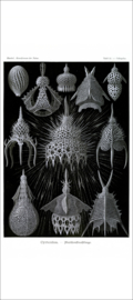 Plate 31: Calocyclas