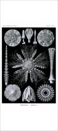 Haeckel Poster: Cidaris