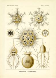 Plate 1: Circogonia