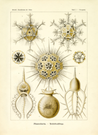Haeckel Poster