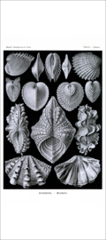 Haeckel Poster: Cytherea