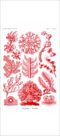 Haeckel Poster: Delesseria